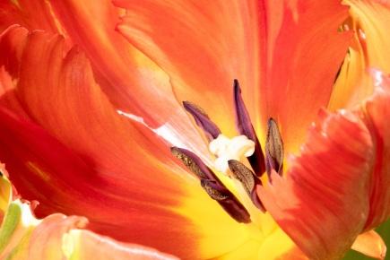 Variegated tulip #1